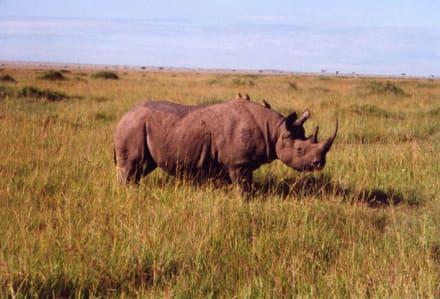 Nashorn - Masai Mara Safari