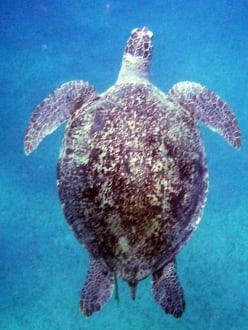 Schildkröte - Schnorcheln Abu Dabab