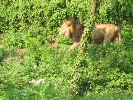 Freigehege der Löwen - Zoo Frankfurt