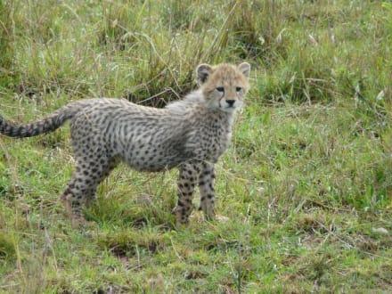 Bin ich nicht süß? - Masai Mara Safari