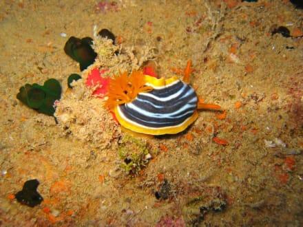 Unterwasserschnecke - Tauchen Sharm el Sheikh