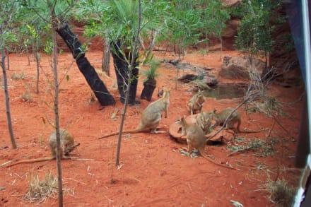 Wallabies - Wildlife World