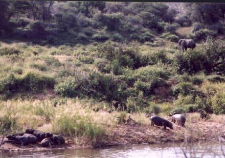 Drei der  Big Five - Krüger Nationalpark
