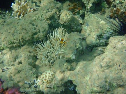Nemo im Hausriff des Hotels Beach Albatros - Tauchen Hurghada