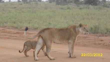 Löwe mit Jungen - Tsavo Ost und West Safari