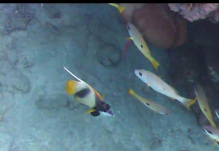 Fische - Schnorcheln Abu Dabab