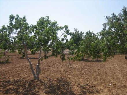 Olivenhaine unterwegs - Mahdia