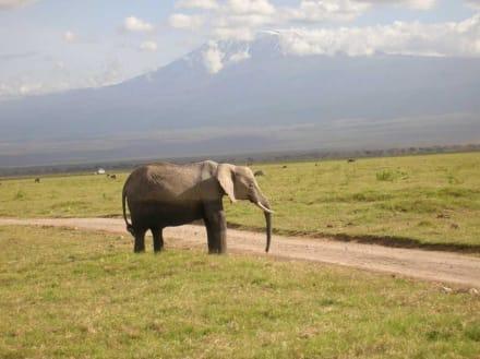 Elefant vor Kilimanjaro - Amboseli Nationalpark