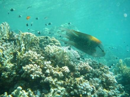 Riff in Abu Dabab - Schnorcheln Abu Dabab