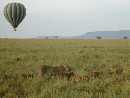 Löwen in der Serengeti - Serengeti Nationalpark