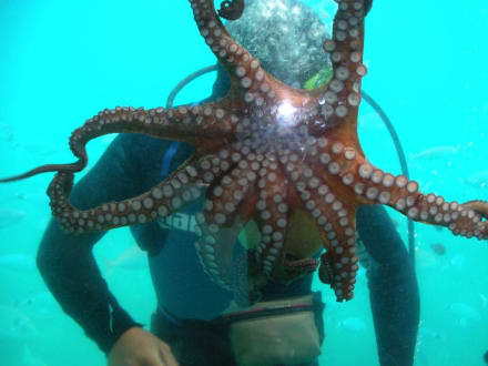 Krake (Octopus) in voller Grösse - Kalypso Star
