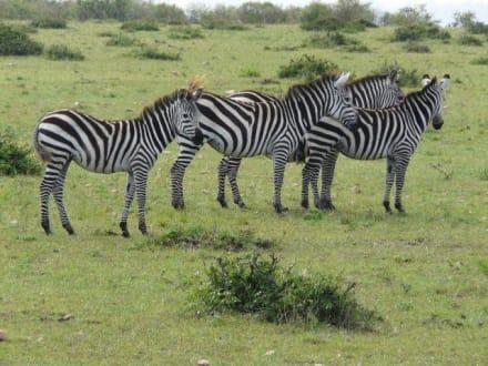 Zebras mal nur zu dritt - Masai Mara Safari