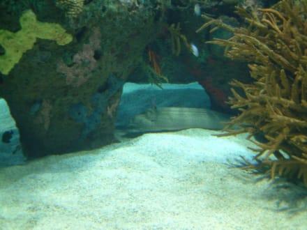 Versteckte Moräne - Aquarium / Oceanongrafic