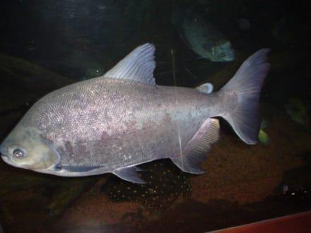 Riesiger Fisch - Loro Parque