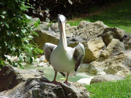 Loro Park - Pelikan - Loro Parque