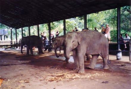 Junge Waisen - Elefantenwaisenhaus Pinnawela