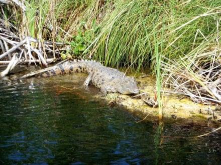 Krokodil vom Black River - Bootstour Black River