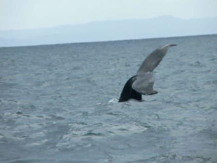 Buckelwale vor Samaná - Halbinsel Samana