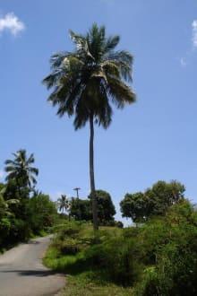 Fig Palm Tree Drive - Straße durch den Regenwald - Fig Tree Drive