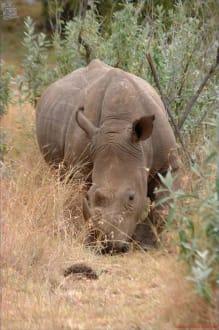 Nashorn - Kenia - Masai Mara Safari
