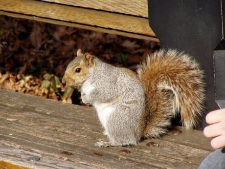 Eichhörnchen im Central Park - Central Park