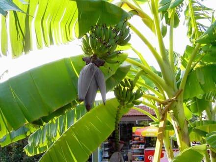 bananenpflanze im garten bild hotel altinkum bungalows in side t rkische riviera t rkei. Black Bedroom Furniture Sets. Home Design Ideas