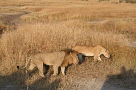 Löwen, stören wir - Masai Mara Safari