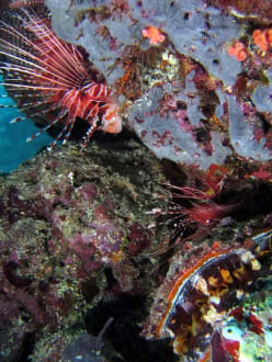 Rotfeuerfische - Aeolus Dive Fihalhohi