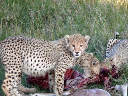Futterzeit für Mutter und Ihre beiden Kinder - Masai Mara Safari