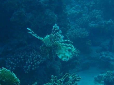 Feuerfisch - Tauchen Hurghada