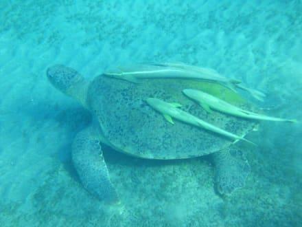 Seeschildkröte - Schnorcheln Marsa Alam