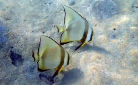 Fledermausfisch - Tauchen Marsa Alam