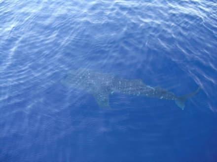 Walhai - Delfinschwimmen Yasser