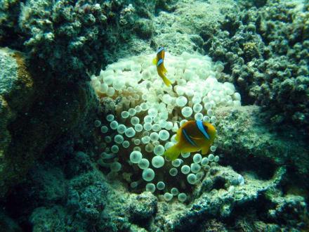 Anemonenfisch - Tauchen Marsa Alam