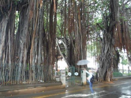 Würgebäume - Geführte Touren Andrea Rodrige