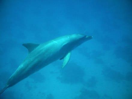 Delphine im Roten Meer - Tauchen Hurghada