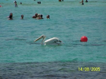 Pelikan am Nissi Beach - Nissi Beach
