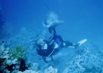 Der mit dem delfin taucht - Tauchen Sharm el Sheikh
