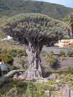 Drachenbaum - Parque del Drago