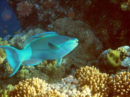 Papageienfisch - Schnorcheln Nabq Bay