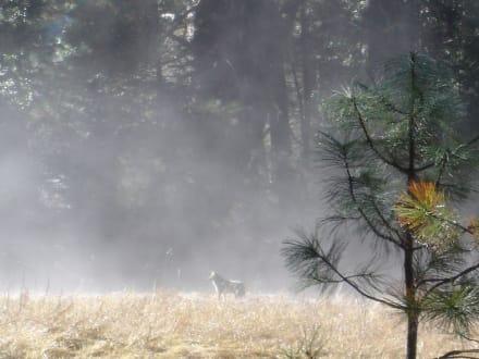 Wolf im Nebel - Yosemite Nationalpark