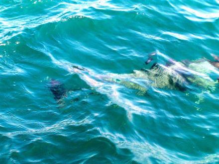 Delphin von oben! - Delfin Tour Diani Beach