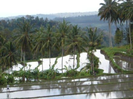 Herrlicher Blick auf Reisplantagen - Reisterrassen