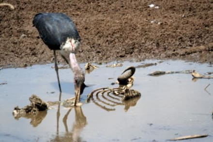 Am Ufer des Mara-rivers gibt es auch zu fressen - Masai Mara Safari