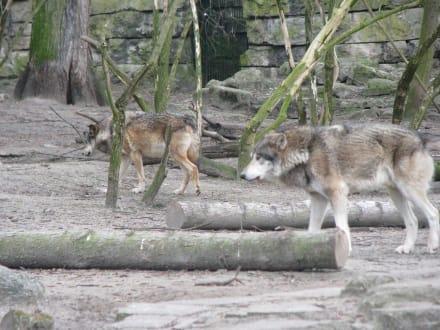 Wölfe - Tierpark Friedrichsfelde