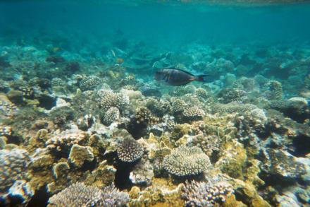 Doktorfisch - Tauchen Hurghada