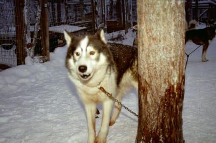 Schlittenhund Pinto - Finnland im Winter