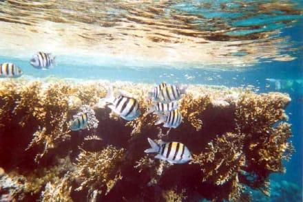 Club Magic Life - Sharm el Sheikh - Unterwasserbilder - Schnorcheln Sharm el Sheikh