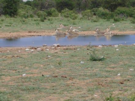Löwen - Etosha Nationalpark