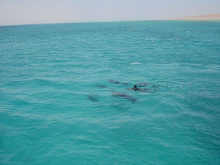 Delphine vor Gitftun - Giftun / Mahmya Inseln